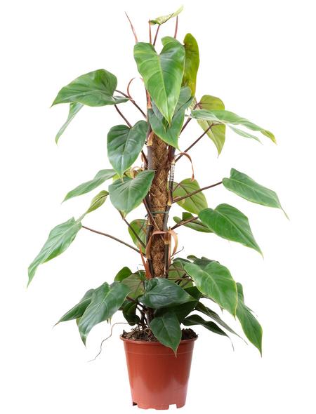 Baumfreund, Philodendron, im Topf