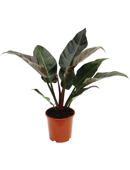 Baumfreund Philodendron  »Imperial Red«