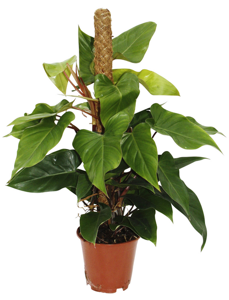 Baumfreund, Red Emerald Philodendron