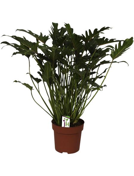 Baumfreund, Xanadu Philodendron