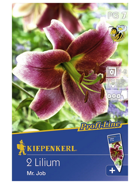 KIEPENKERL Baumlilie x Hybrida Lilium
