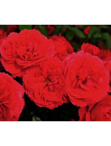 Beetrose »Cherry Girl ®«, Rosa, Blüte: rot