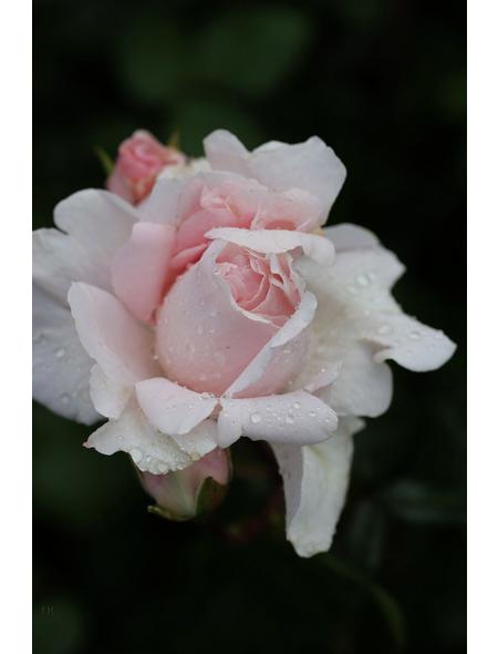 Beetrose »Constanze Mozart ®«, Rosa, Blüte: blassrosa