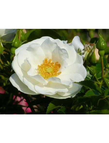 Beetrose »Innocencia ®«, Rosa, Blüte: weiß