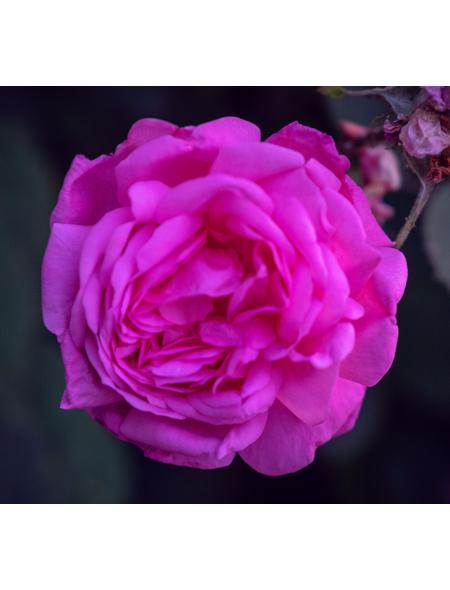 Beetrose  »Palais Biron ®«, Rosa, Blüte: purpurfarben