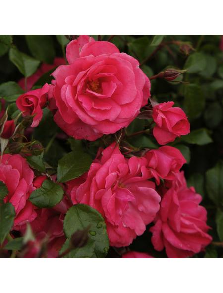 KORDES ROSEN Beetrose, Rosa »Bad Birnbach®«, Blüte: rosa/pink, halbgefüllt