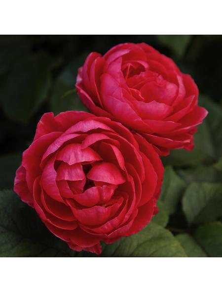 KORDES ROSEN Beetrose, Rosa »Gartenprinzessin Marie-Jose®«, Blüte: rosarot, gefüllt