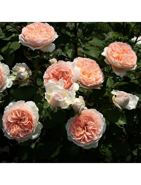 KORDES ROSEN Beetrose, Rosa »Märchenzauber®«, Blüte: apricot, gefüllt