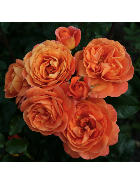 KORDES ROSEN Beetrose, Rosa »Phoenix®«, Blüte: orange, gefüllt