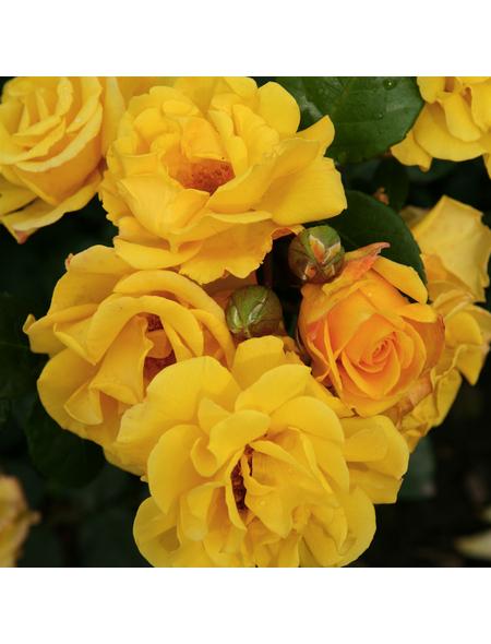 KORDES ROSEN Beetrose, Rosa »Sunshine®«, Blüte: gelb, halbgefüllt