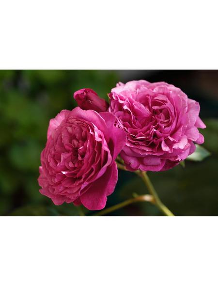 ROSEN TANTAU Beetrose, Rosa x hybrida »Kaffe Fassett«, Blüte: violett, gefüllt