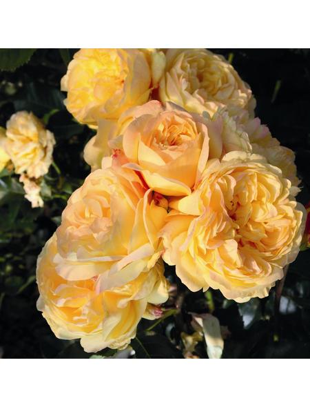 ROSEN TANTAU Beetrose, Rosa x hybrida »Lampion«, Blüte: gelb, gefüllt