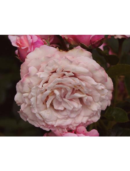 Beetrose »Rosenfaszination ®«, Rosa, Blüte: rosa