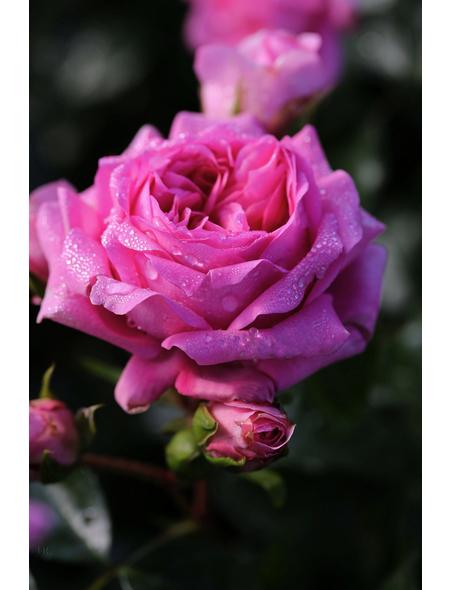 Beetrose »Rosenfee ®«, Rosa, Blüte: rosa