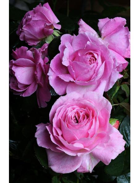 Beetrose »Rosengräfin Marie Henriette ®«, Rosa Parfuma Kollektion, Blüte: rosa