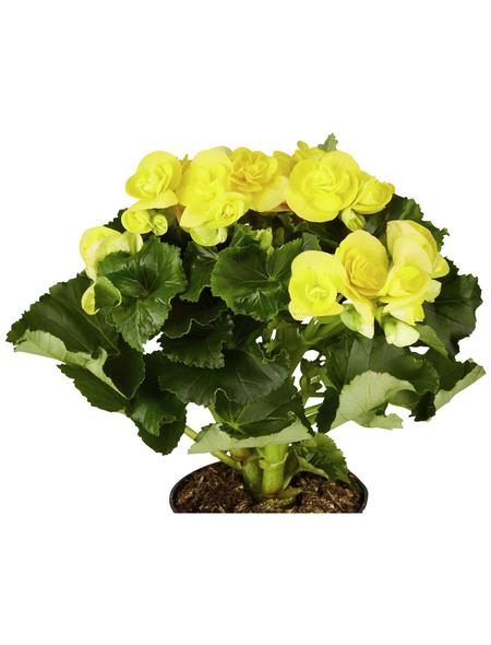 GARTENKRONE Begonie, Begonia elatior, Blüte: gelb