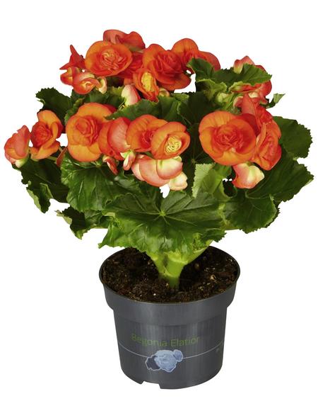 GARTENKRONE Begonie, Begonia elatior, Blüte: orange