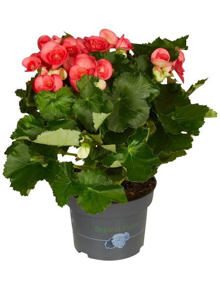 GARTENKRONE Begonie, Begonia elatior, Blüte: rosa