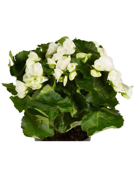 GARTENKRONE Begonie, Begonia elatior, Blüte: weiß