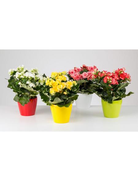 GARTENKRONE Begonie »Begonia Elatior«, Gelb