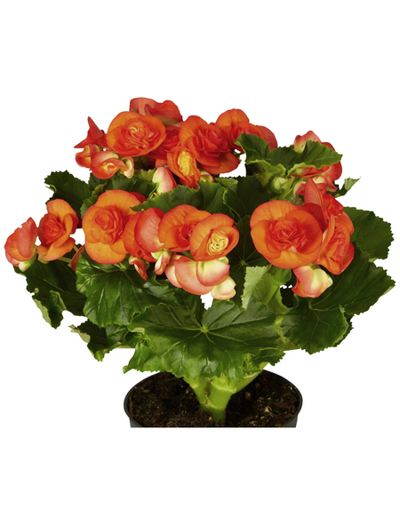 GARTENKRONE Begonie »Begonia Elatior«, Orange