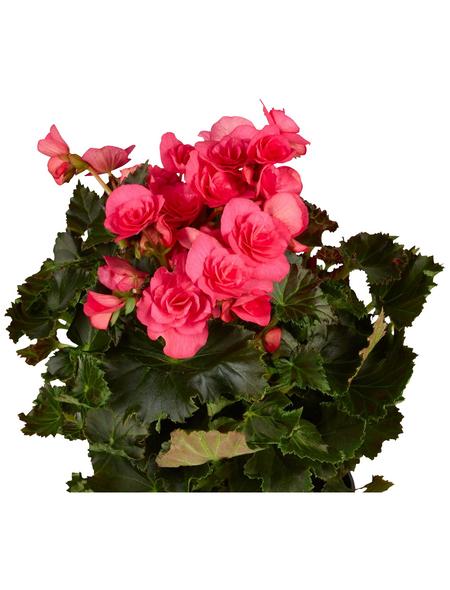 GARTENKRONE Begonie »Begonia Elatior«, Rosa