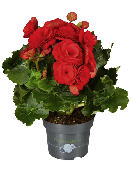 GARTENKRONE Begonie »Begonia Elatior«, Rot
