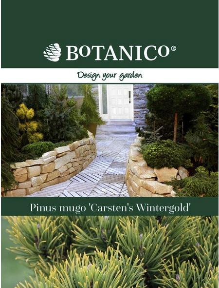 Bergkiefer mugo Pinus »Carstens Wintergold«