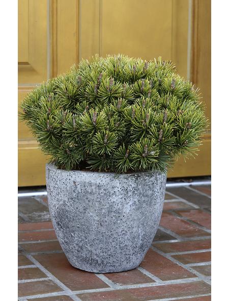 Bergkiefer mugo Pinus »Ophir«