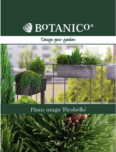 BOTANICO Bergkiefer mugo Pinus »Picobello«