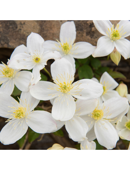 GARTENKRONE Bergwaldrebe, Clematis montana »Grandiflora«, weiß, winterhart