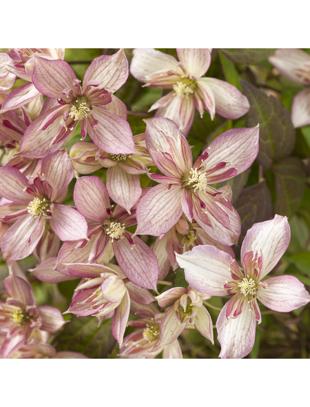 GARTENKRONE Bergwaldrebe, Clematis montana »Majorie«, Blüten: rosa