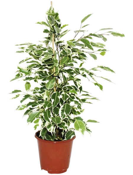 Birkenfeige, benjamini Ficus »Twilight«