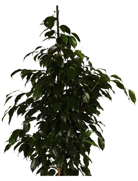 GARTENKRONE Birkenfeige Ficus benjamina 110 cm