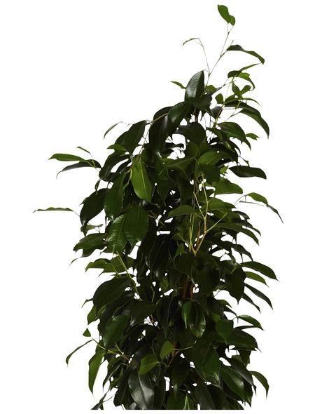 GARTENKRONE Birkenfeige Ficus benjamina 75 cm