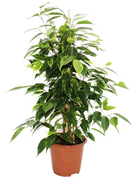 Birkenfeige Ficus benjamini »Anastasia«