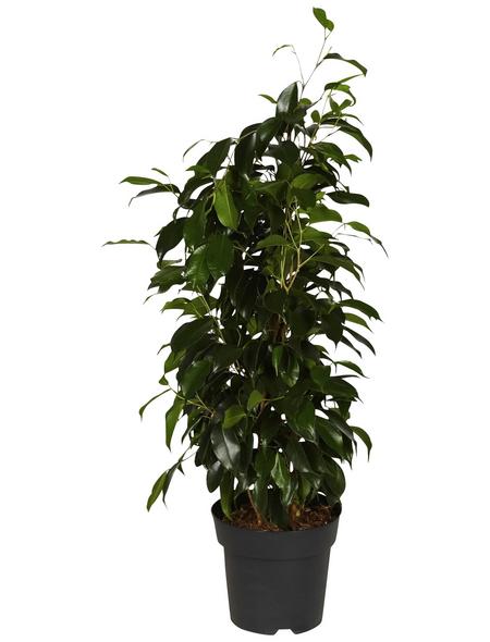 GARTENKRONE Birkenfeige, Ficus benjamini »in Sorten«, im Kunststoff-Kulturtopf