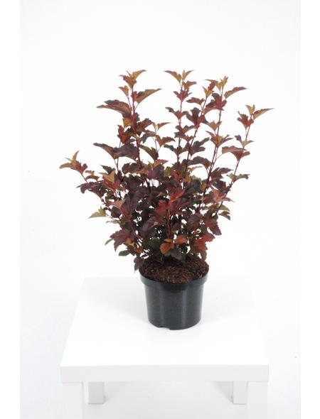 GARTENKRONE Blasenspiere Physocarpus Opulifolius »Center Glow-R«