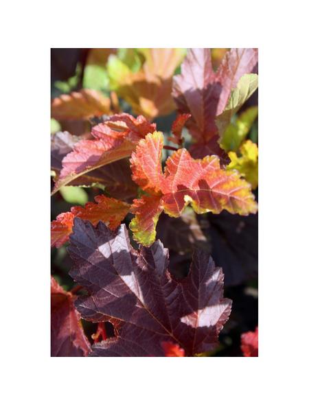 GARTENKRONE Blasenspiere, Physocarpus Opulifolius »Center Glow-R«, creme, winterhart