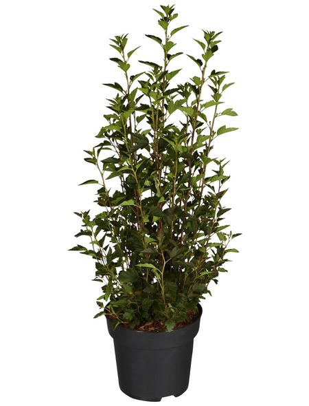 GARTENKRONE Blasenspiere, Physocarpus opulifolius »Little Devil «, creme, winterhart