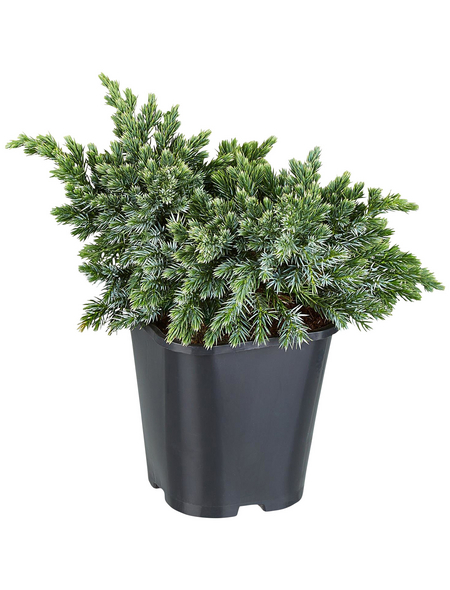 GARTENKRONE Blauer Zwergwacholder Juniperus squamata »Blue Star«