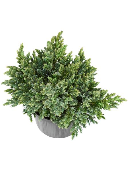 GARTENKRONE Blauer Zwergwacholder, Juniperus squamata »Blue Star«, winterhart