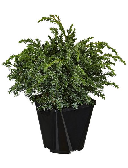 GARTENKRONE Blauer Zwergwacholder Juniperus squamata »Blue Swede«