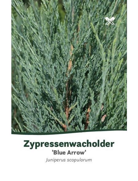 Blauer Zypressen-Wacholder scopulorum Juniperus »Blue Arrow«