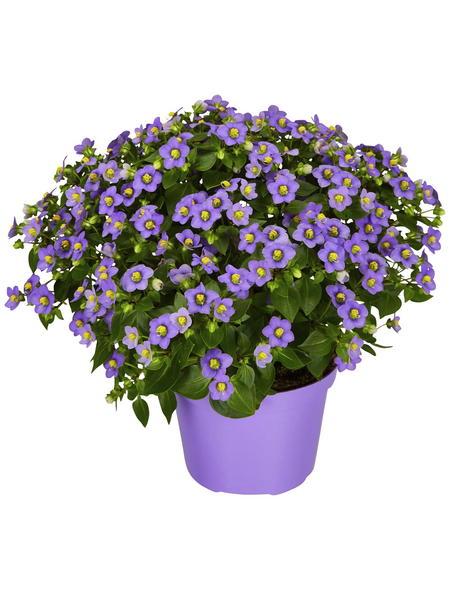 GARTENKRONE Blaues Lieschen, Exacum affine, Blüte: mehrfarbig