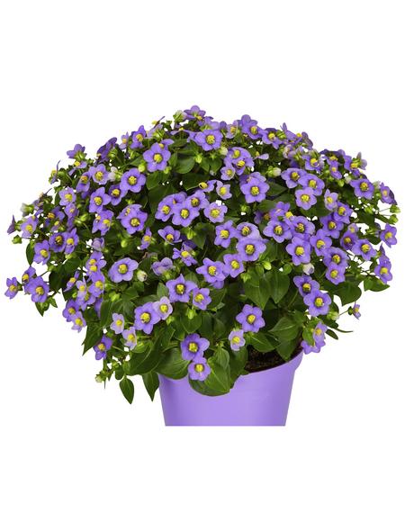 GARTENKRONE Blaues Lieschen »Exacum Affine«, Mehrfarbig