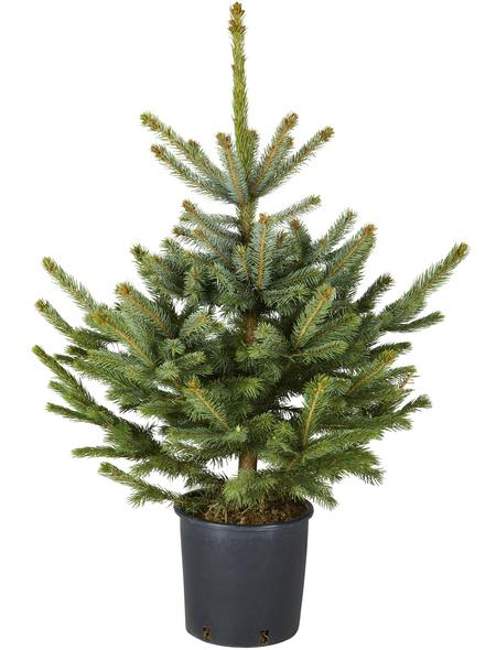 HELMUT TRIPPE Blaufichte Picea pungens »Glauca«, im Topf, Höhe: 60 - 100 cm