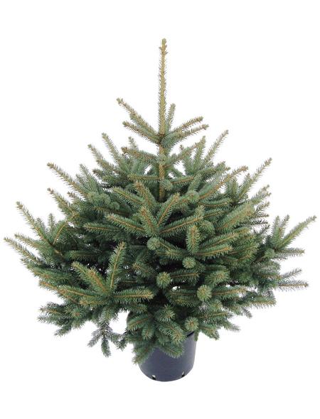 Blaufichte Picea pungens »Glauca«, im Topf, Höhe: 80 - 100 cm