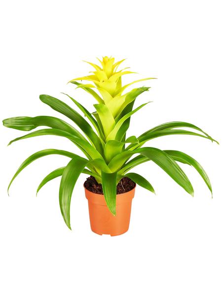 GARTENKRONE Blühpflanze Guzmanie hybrid, gelb