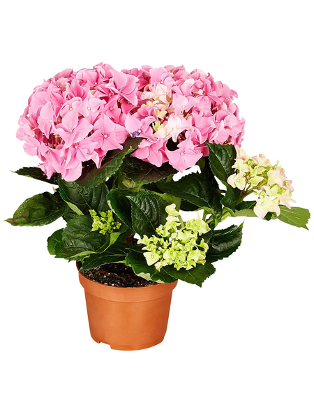 Blühpflanze Hortensie macrophylla, rosa
